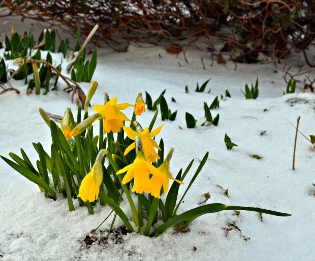 spring-daffodils-snow