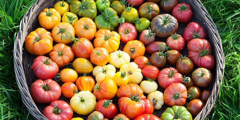 tomato_many